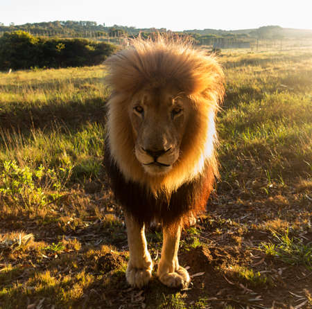 Close up of an old large male lion that is directly facing the camera with sun providing backlighting to his mane in the wild savannah in South Africa photo