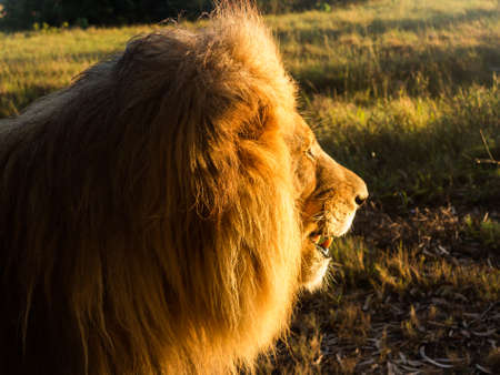 Close up of an old large male lion in profile and facing the rising sun in the wild savannah in South Africa photo
