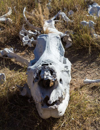 poaching: Skull of single large large rhino or rhinoceros that was likely killed for its horn in poaching attack in Matobo National Park in Zimbabwe in Southern Africa