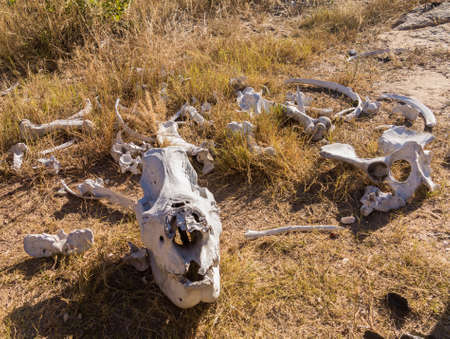 poach: Skull of single large large rhino or rhinoceros that was likely killed for its horn in poaching attack in Matobo National Park in Zimbabwe in Southern Africa