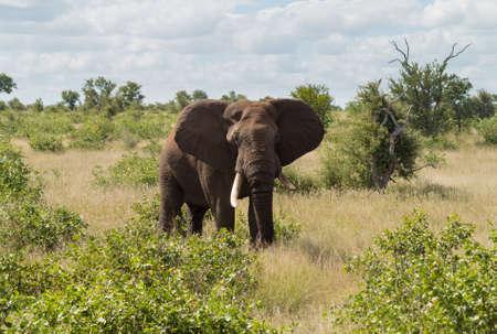 kruger national park: Large male elephant in Kruger National park in South Africa in profile photo against the bush
