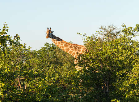 Close photo of tall African giraffe looking down at the camera from munching at leaves in the trees photo