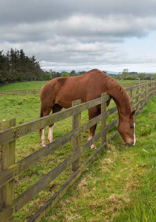 to other side: Grass is always greener on the other side of fence as horse stretches to reach its meal and chews the meadow grass