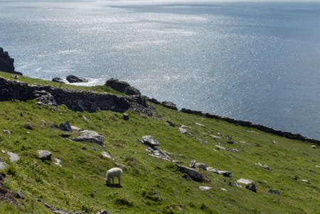 Sheep graze along the coastline of the western point of County Kerry near Dingle in Ireland or Eire photo