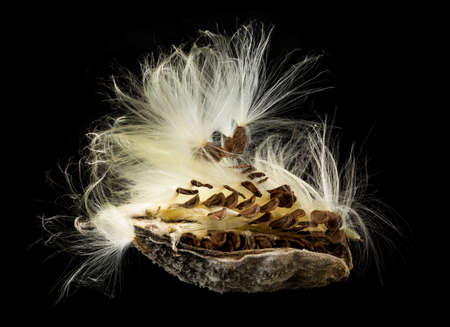 seedpod: Highly detailed macro image of the seed pod from Swamp Milkweed flower Asclepias incarnata which has wispy windblown feathery strands attached to brown seeds that are carefully aligned in the shell Stock Photo