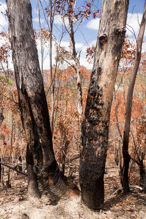 australia landscape: Remnants of forest or bush fire in Blue Mountains of New South Wales in Australia