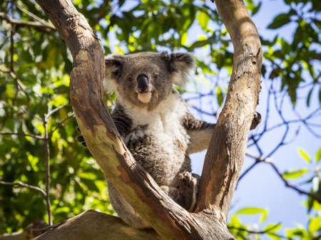 koala: Australiano oso koala sentado y descansando en el árbol en el parque zoológico y mirando hacia la cámara con la insinuación de una sonrisa en su cara bonita