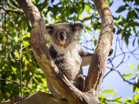 Australian Koala bear seated and resting in tree in Zoo and looking towards the camera with the hint of a smile on its cute face Stockfoto