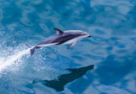 遊び心のあるイルカ残してニュージーランドのミルフォード ・ サウンドのクルーズ船で海の水から跳躍します。