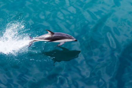 Playful dolphin leaps from water in the ocean by cruise ship leaving Milford Sound in New Zealand