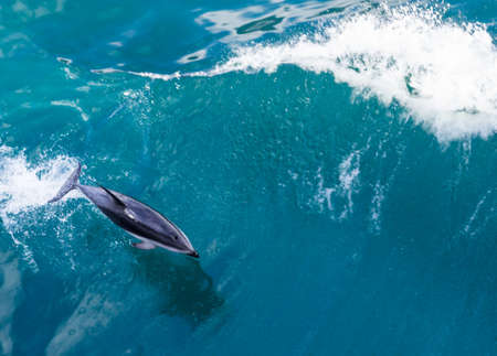 dolphin jumping: Playful dolphin leaps from water in the ocean by cruise ship leaving Milford Sound in New Zealand