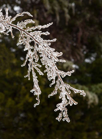 Icicles forming off ice covered branches of tree in winter as the covering starts to melt photo