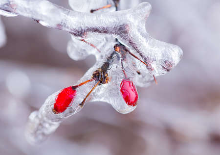 Icicles forming off ice covered branches of berberis tree in winter with the red berries