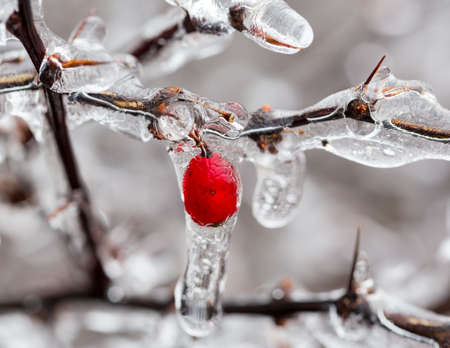 Icicles forming off ice covered branches of berberis tree in winter with the red berries photo