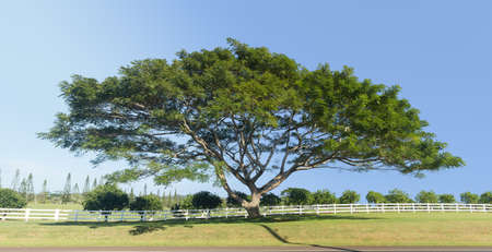 Large wide acacia or koa tree in front of white picket fence and orchard on Hawaiian island of Kauai. High resolution stitched image