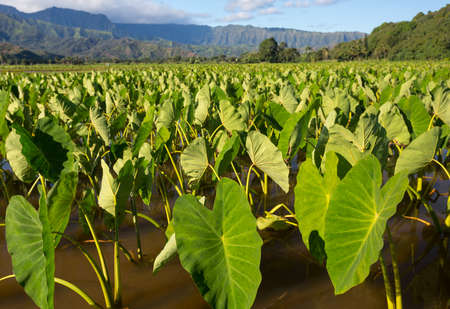 taro: Hanalei Valley on island of Kauai with focus on Taro plants with Na Pali mountain range