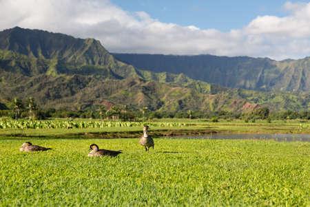 Nene ducks or geese in Hanalei Valley on island of Kauai with Taro plants and Na Pali mountain range  photo