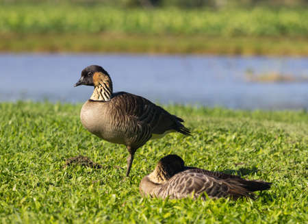 Nene ducks or geese in Hanalei Valley on island of Kauai with Taro plant pools or ponds photo