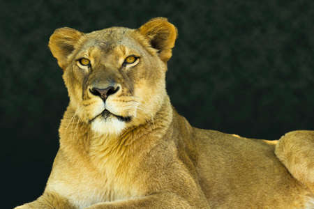 female lion: Strong portrait of a female lion or lioness looking calmly towards the viewer on a warm early morning day