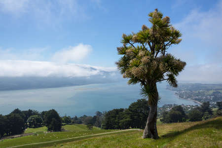 cordyline: Cabbage tree frames broad landscape of the Otago Peninsula and Bay near the city of Dunedin and clouds hanging over the mountains