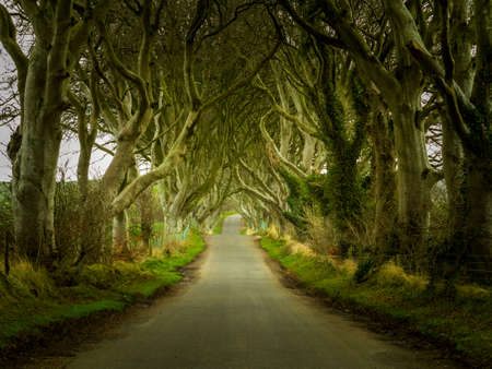 Magical landscape in Northern Ireland known as Dark Hedges with Bregagh Road passing beneath ancient beech trees whose branches overhang the track