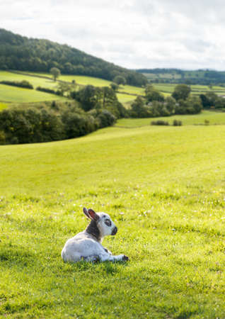 welsh: Welsh lamb with black and white wool in meadow with welsh or yorkshire hills in background Stock Photo