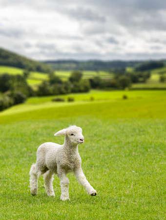 ヨークシャー ・ デイルズ農場の草原で跳ね回って小さなかわいい子羊