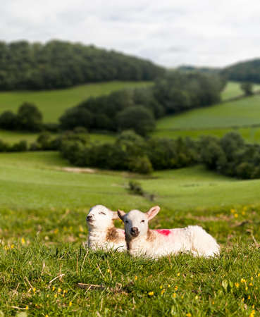 cuteness: Welsh lamb with black and white wool in meadow with welsh or yorkshire hills in background Stock Photo