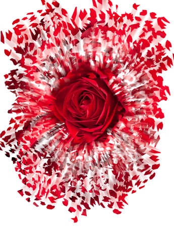 breakup: Detailed close shot of velvet red rose breaking into many pieces to suggest either a breakup or perhaps excitement as the rose devolves into abstract illustration