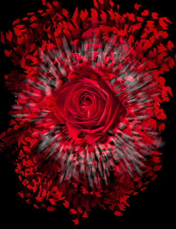either: Detailed close shot of velvet red rose on black background breaking into many pieces to suggest either a breakup or perhaps excitement as the rose devolves into abstract illustration Stock Photo