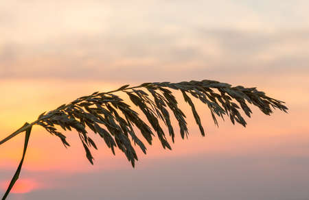 sea oats: Silhouette of sea oats plant and leaves against the rising sun in South Florida beach Stock Photo