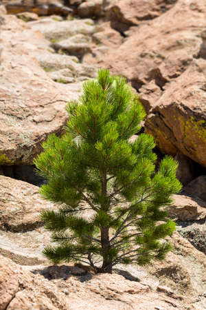 ponderosa: Small young ponderosa pine tree grows from rocky plateau by Turtle Rocks near Buena Vista Colorado, famous for climbing Stock Photo