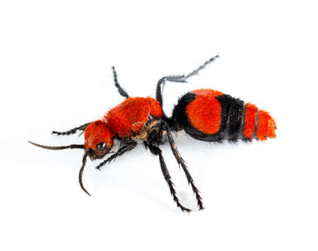 wingless: Isolated macro photo of cow killer or Velvet ant, that is actually a wingless wasp but has a very painful sting