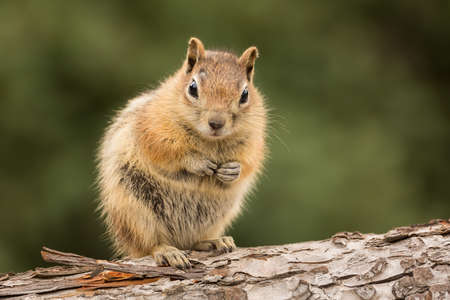 Cute tame and friendly chipmunk posing for camera with a quizzical expression as if to say who me?