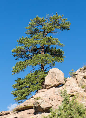 ponderosa pine: Lone old ponderosa pine tree grows from rocky plateau by Turtle Rocks near Buena Vista Colorado, famous for climbing