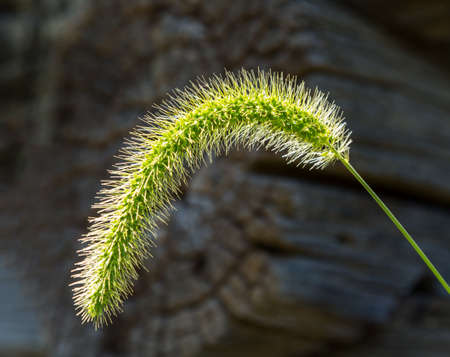 Timothy or Foxtail grass seed head or seedhead backlit by the sun in front of the logs of a log cabin in Virginia Banco de Imagens