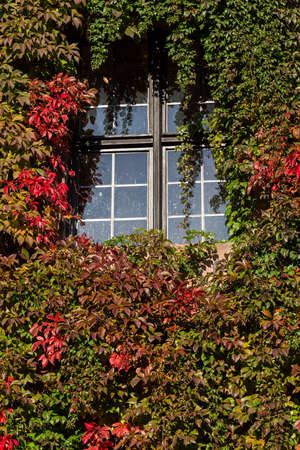 Growth of red and green ivy leaves cover the walls of Nuremberg Castle in Germany
