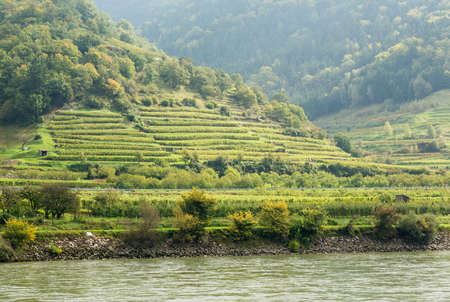 wine road: Pattern of rows of grape vines in vineyard in the Wachau Valley on the banks of River Danube in Austria Stock Photo