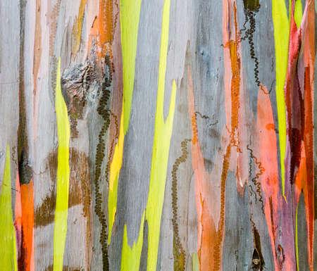 bark peeling from tree: Close up of the colorful bark and tree trunk of the Rainbow Eucalyptus tree at Keahua Arboretum in Kauai, Hawaii, USA