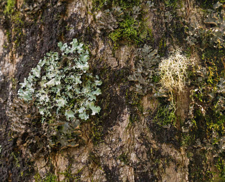 mosses: Close up of lichens and mosses growing on the bark of a tree in Kauai forest