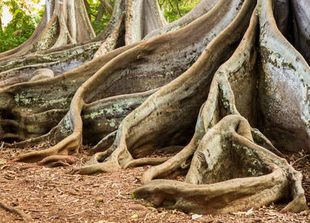 huge tree: Strange spreading roots of the Moreton Bay Fig Tree as seen in Jurassic Park film