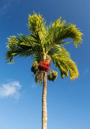 areca: Betel Nut or Areca Catechu tropical tree growing in Kauai Stock Photo
