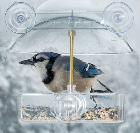 blue jay bird: Large blue jay bird in window attached birdfeeder on a wet cold day in winter Stock Photo