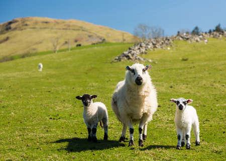 ovejas bebes: Ovejas y corderos en campos y prados de Welsh granja de la colina con las montañas en la distancia
