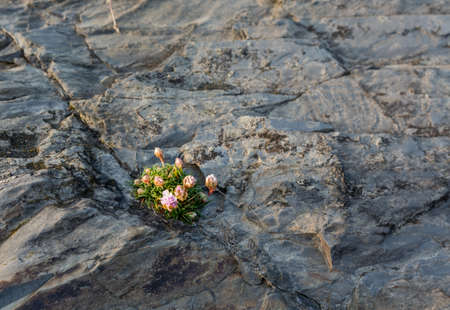 Small plant or flowering shrub growing in the harsh environment of granite rocks on coast Stock Photo