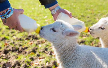 lambing: Caucasian woman in welsh field feeding two newborn lambs with milk from feed bottles with sheep in background