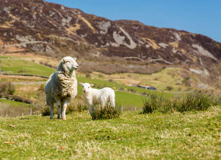 welsh: Sheep and lambs in fields and meadows of Welsh hill farm with mountains in the distance