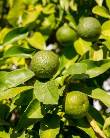 fruit tree: Hybrid fruit tree against bright blue sky growing both oranges and lemons on the same branch