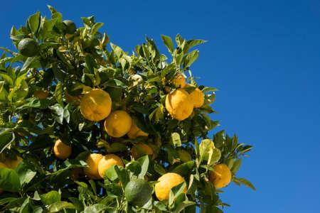 arboles frutales: árbol de fruta híbrida contra el cielo azul brillante creciente ambos naranjas y limones en la misma rama