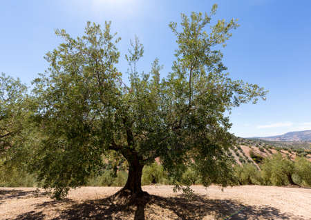 tree farming: Olive trees in rows reaching to the far distance on hills and mountain sides in Andalucia in Southern Spain Stock Photo